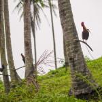 Camiguin - cocks in surprising places